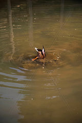 Tauchende Ente