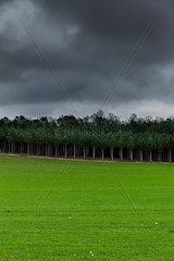 Junger Pinienwald