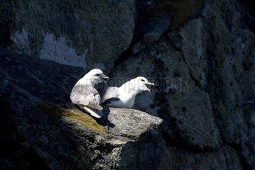 Eissturmvogel Paar rufend in der Wand.Norwegen