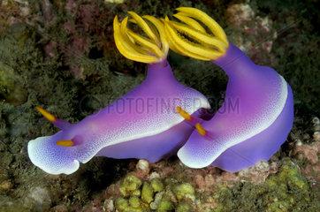 Violette Prachtsternschnecken