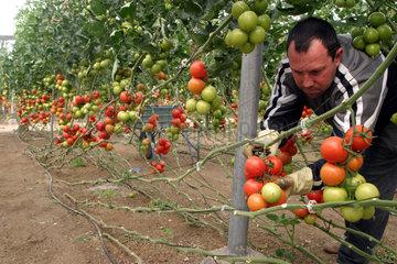 Tomatenanbau im Gewaechshaus in Spanien
