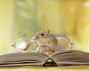 wuestenrennmaus  rennmaus  maus  gerbil  gerbille  gerbillinae  desert rat  mouse  rats  jerbo  household
