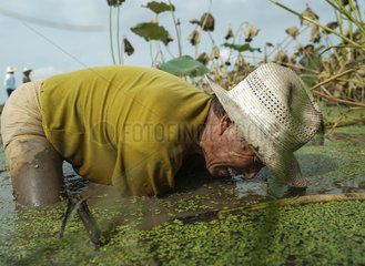CHINA-HUBEI-AGRICULTURE-LOTUS ROOT-HARVEST (CN)
