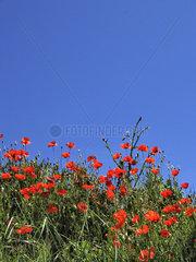 Rote Mohnblumen am Feldrand
