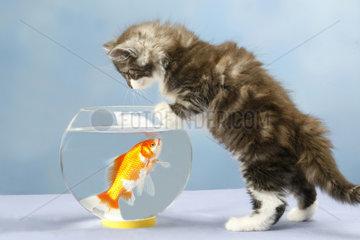 Norwegische Waldkatze  mit Goldfisch  Norwegian Forest Cat  with gold fish