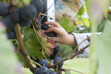 Child picking grapes from vine