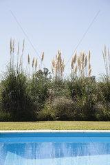 Pampas grass growing near swimming pool