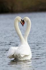 Hoeckerschwan  Mute Swan  cygnus olor  europe  europa