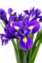 Schwertlilien (Iris) auf weissem Hintergrund