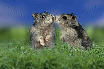 Dwarf Hamster / Dsungrische Zwerghamster