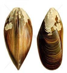 Japanische Miesmuschel Mytilus crassitesta