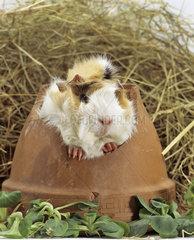 Lustiges Meerschweinchen  Meerschwein auf der Waage  Meerschwein  guinea pig  cavia porcellus  cochon inde  meerschweinchenfotos  rodentia  household  guineapig
