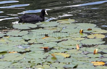Berlin  Deutschland  Blaesshuhn und Seerosen in einem Teich