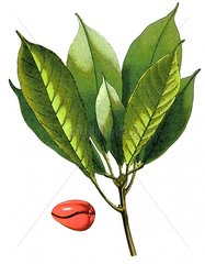 Kola Pflanze Heilkraut Serie