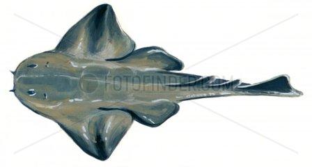 Serie Fische Engelhai Serie Haie