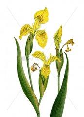 Sumpfschwertlilie Wasserschwertlilie Iris pseudacorus