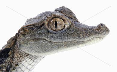 Krokodilkaiman  Jungtier  Caiman crocodilus  spectacled caiman  young