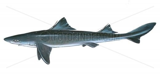 Serie Fische Gefleckter Dornhai squalus acanthias Serie Haie Rote Liste
