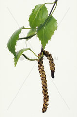 Silver Birch / Haengebirke / Weissbirke birke  betula  birch  bouleau  betula