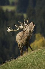 roehrender Hirsch  belling deer