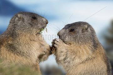Alpenmurmeltier / Alpine Marmot / Austria
