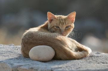 Hauskatze liegt auf Mauer  cat resting on a wall  Kykladen