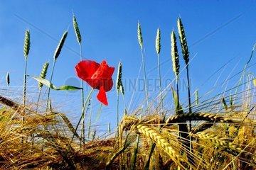 single field poppy amongst grain ears