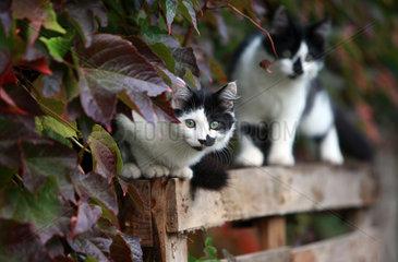 Chantilly  Frankreich  Hauskatzen
