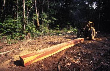 Gefaelltes Tropenholz im brasilianischen Urwald