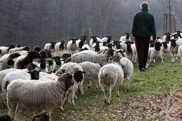 Neu Kaetwin  Deutschland  Landwirt und eine Herde Dorperschafe