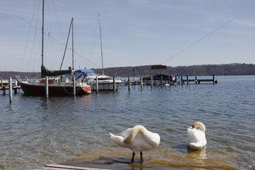 Schwaene am Starnberger See