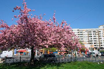 Blueten-Kirsche Baum am Kottbusser Tor
