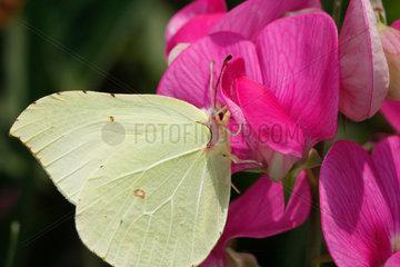 Schmetterling auf Staudenwicke