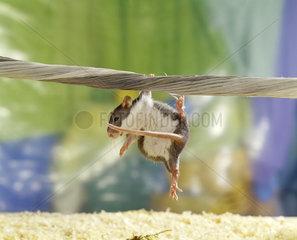 Farbratte  Hausratte  Petrat  rat  rats  household  domestic  pets  zierratte  ratte  ratten  haustier  haustiere  hausratte  zuchtratte