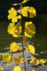 Pappel im Herbst
