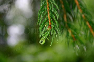 Wassertropfen auf die Blaetter eine Nadelbaum