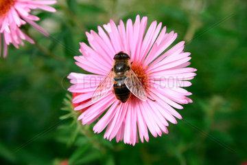 Biene auf eine Asternbluete