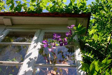 Clematis / Grossblumige Waldreben vor ein Haus