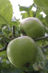 Gruene Apfel