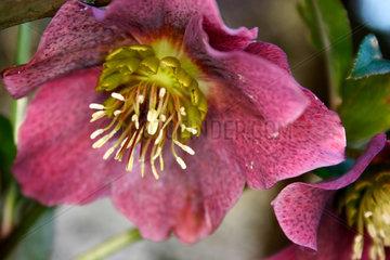 Helleborus niger - Christrose