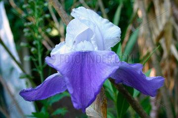 Schwertlilie - Iris sibirica