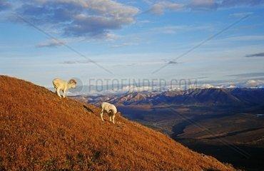 Dallschaf  Dall's Sheep