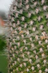 Bluhende Kaktus