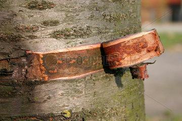 Schnittwunde an einen Baumrinde
