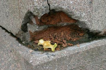 Apfel Reste in einem Wandloch