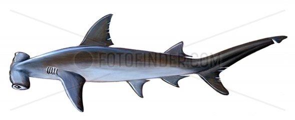 Serie Fische Grosser Hammerhai Sphyrna zygaena Serie Haie