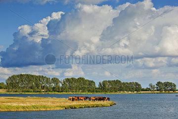 Pferde  Insel Poel  Mecklenburg-Vorpommern  Germany