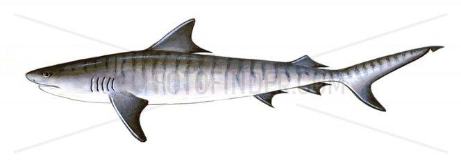 Serie Fische Tigerhai Galeocerdo cuvier Serie Haie