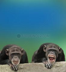 schimpanse  gemeiner schimpanse  gewoehnlicher schimpanse  pan troglodytes  common chimpanzee