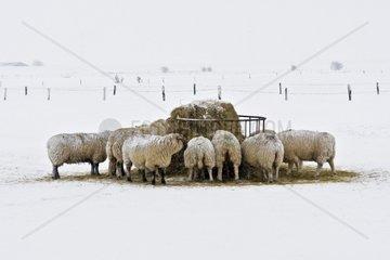 Schafe an der Nordseekueste im Schnee auf der Weide